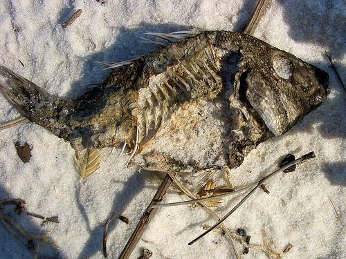 Pensacla bay beach dead fish bodies