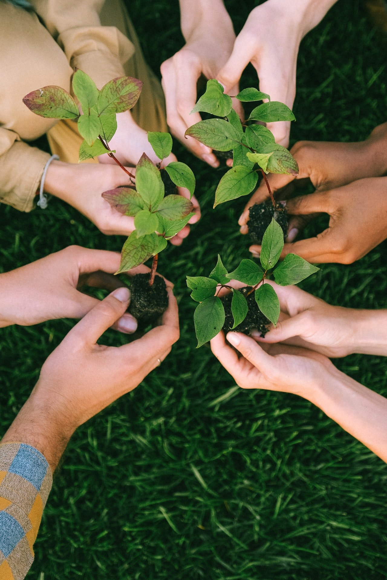 many pairs of hands hold small tree seedlings on a background of grass.